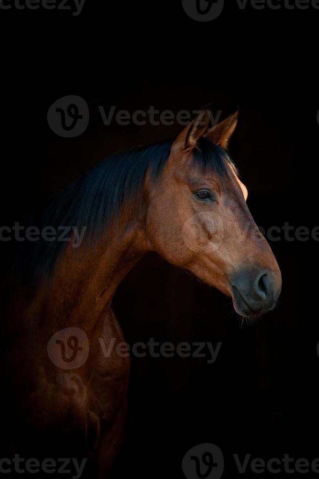 cheval sur fond noir photo