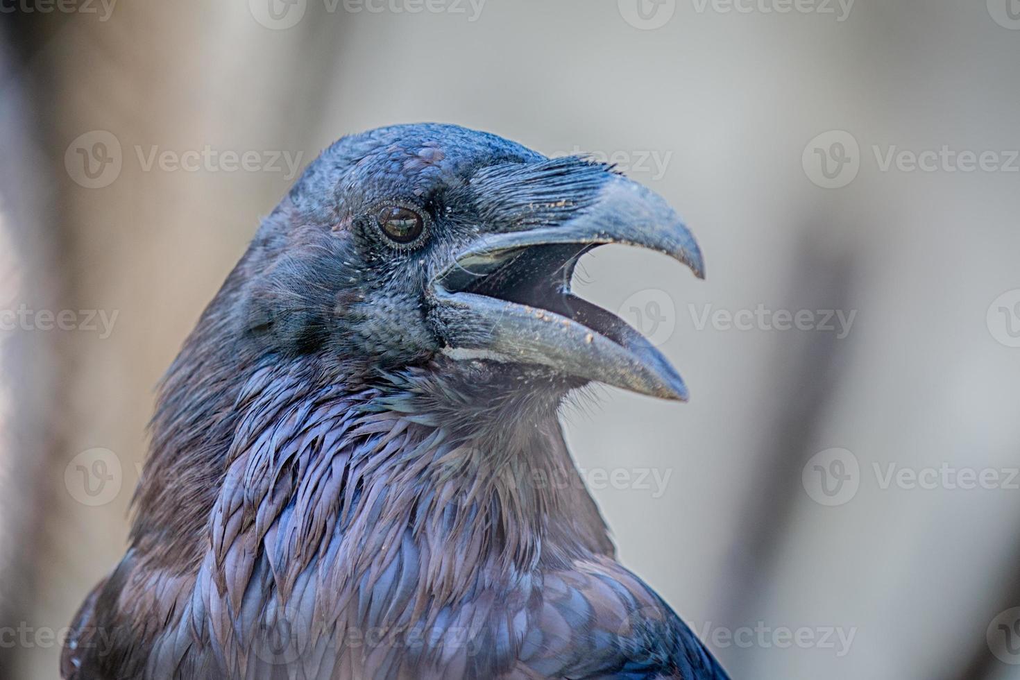 corbeau du nord photo