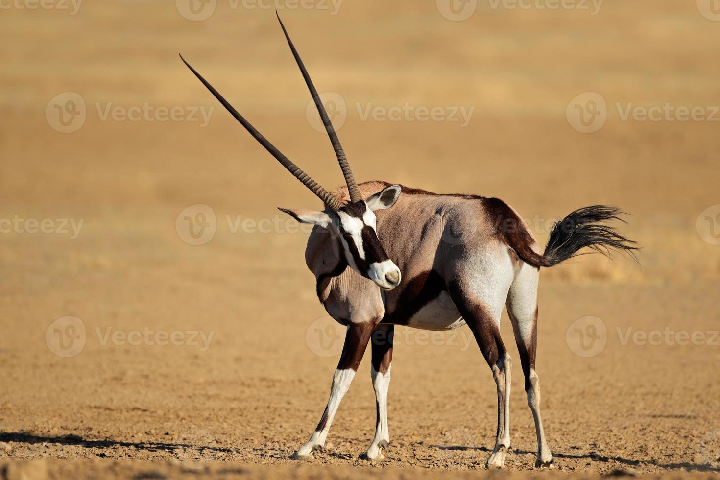 antilope gemsbok photo