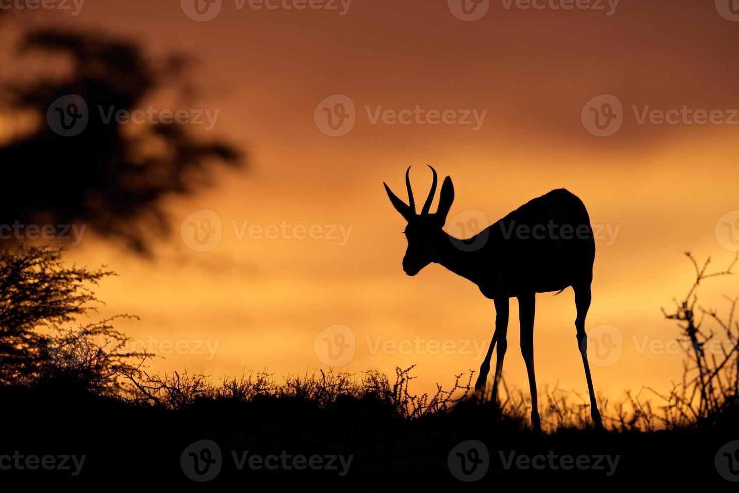 silhouette de springbok photo