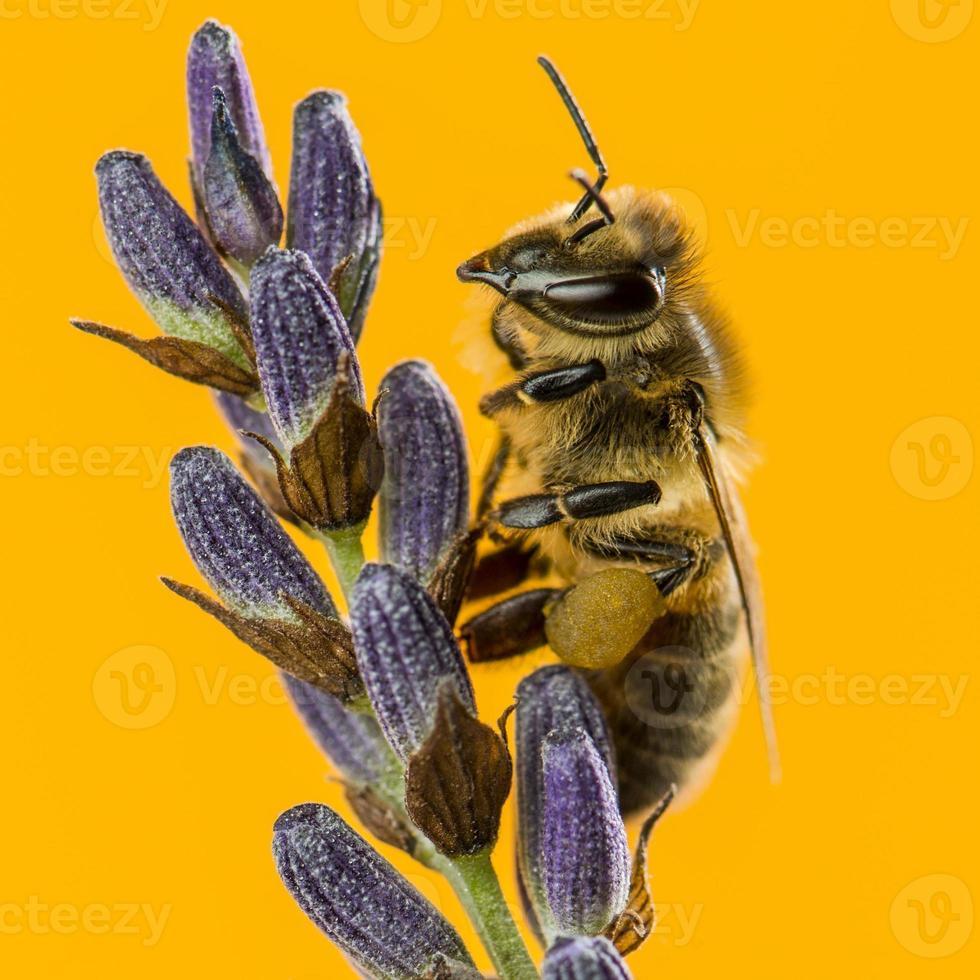 abeille butinant une lavande photo