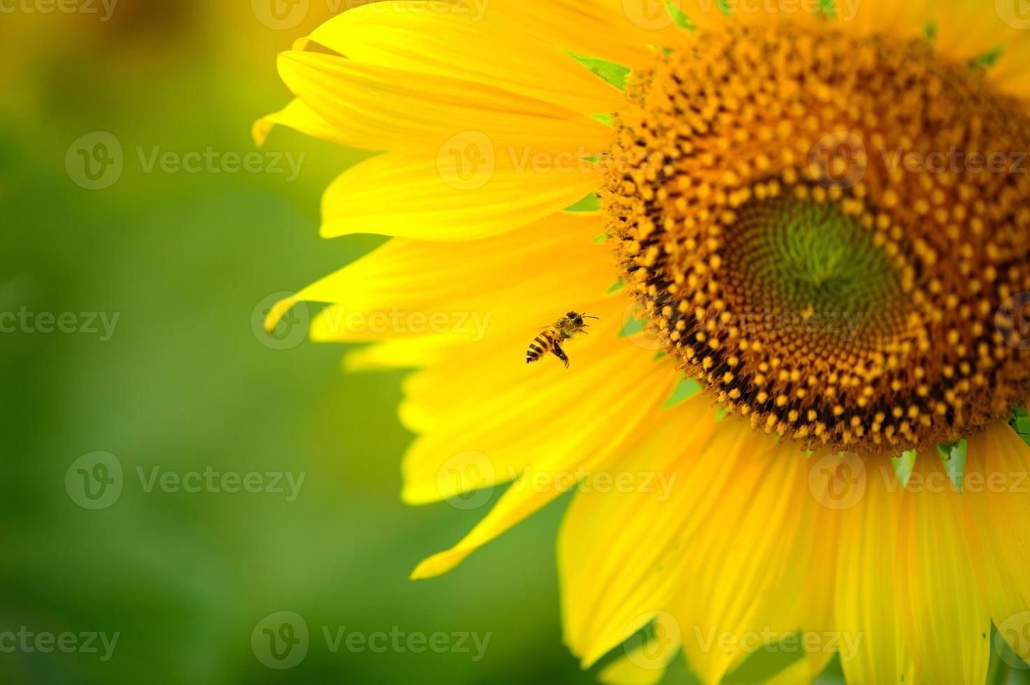 abeille et tournesol photo