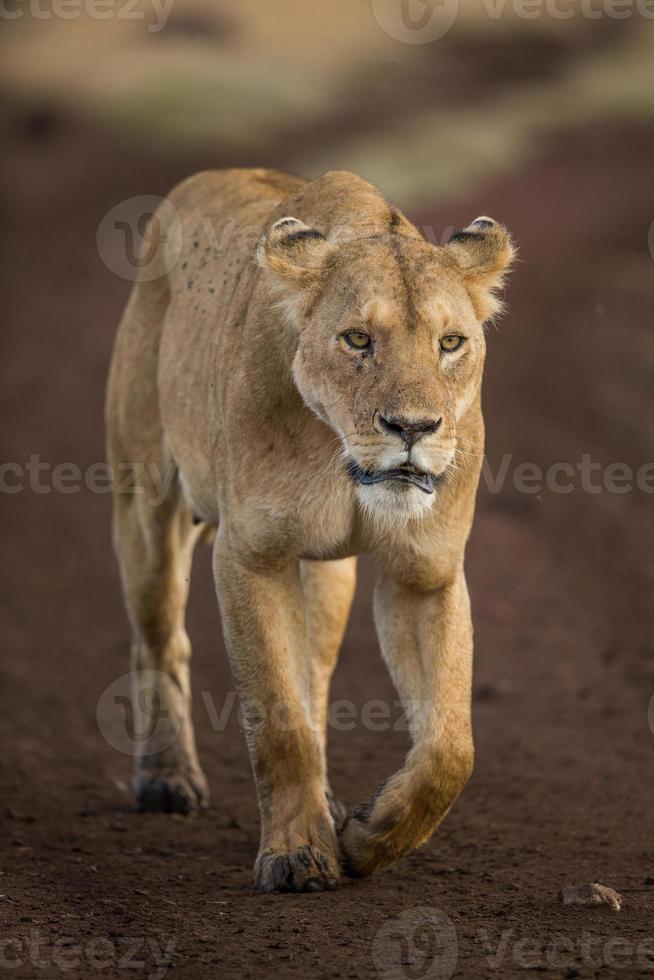 lionne en promenade photo