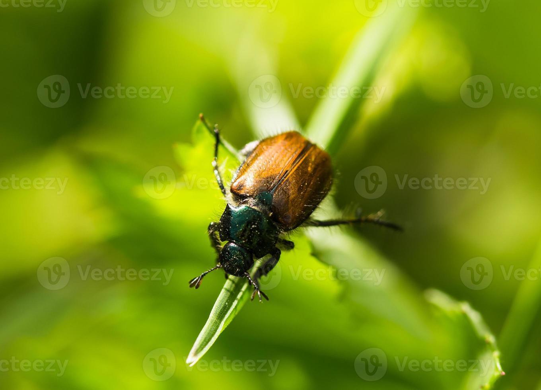 coléoptère, herbe photo
