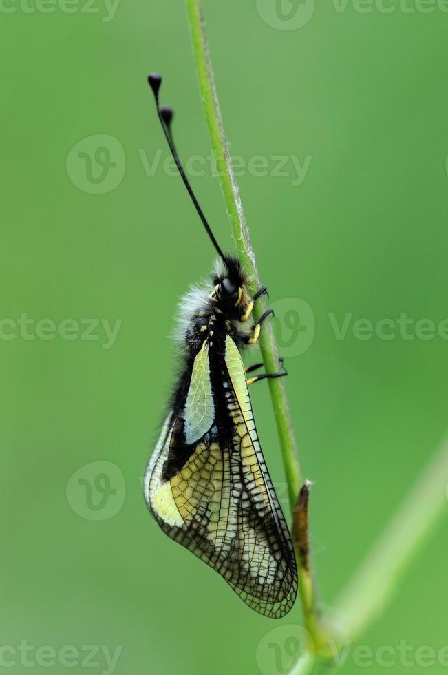 libelloides coccajus photo