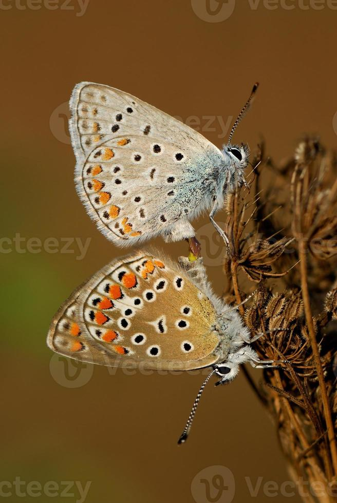 polyommatus icarus, accouplement photo