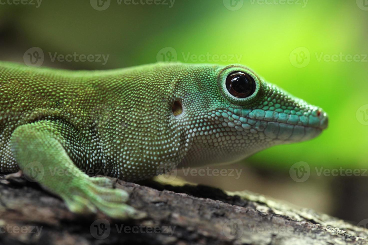 gecko géant du jour de koch (phelsuma madagascariensis kochi). photo
