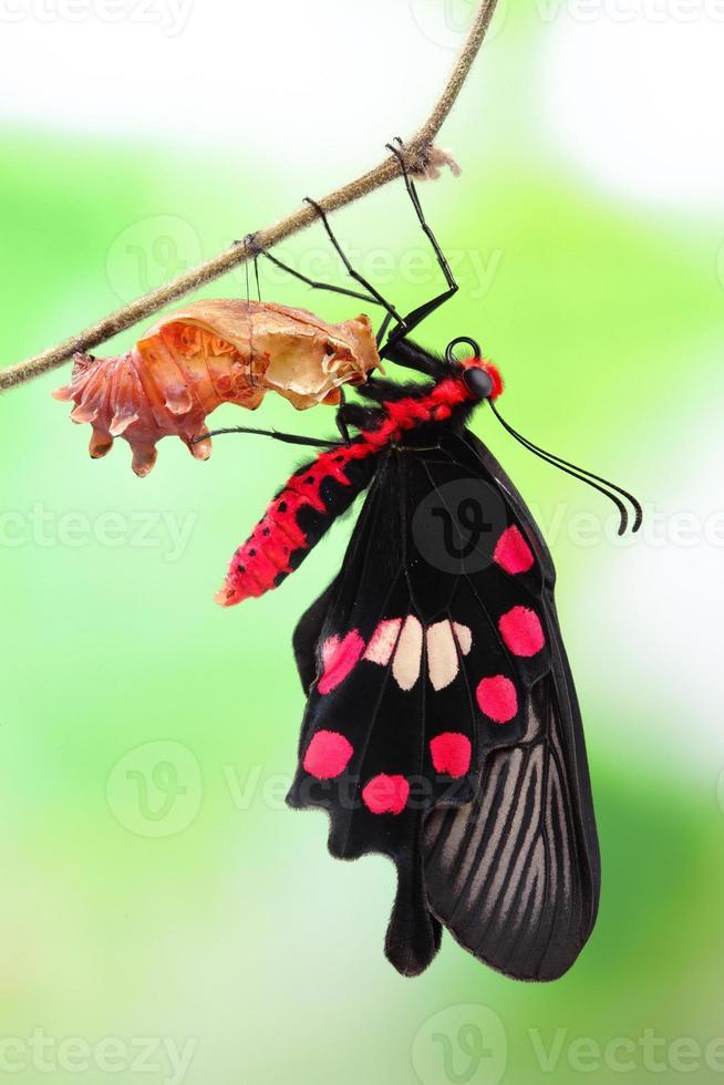 papillon changer forme chrysalide photo