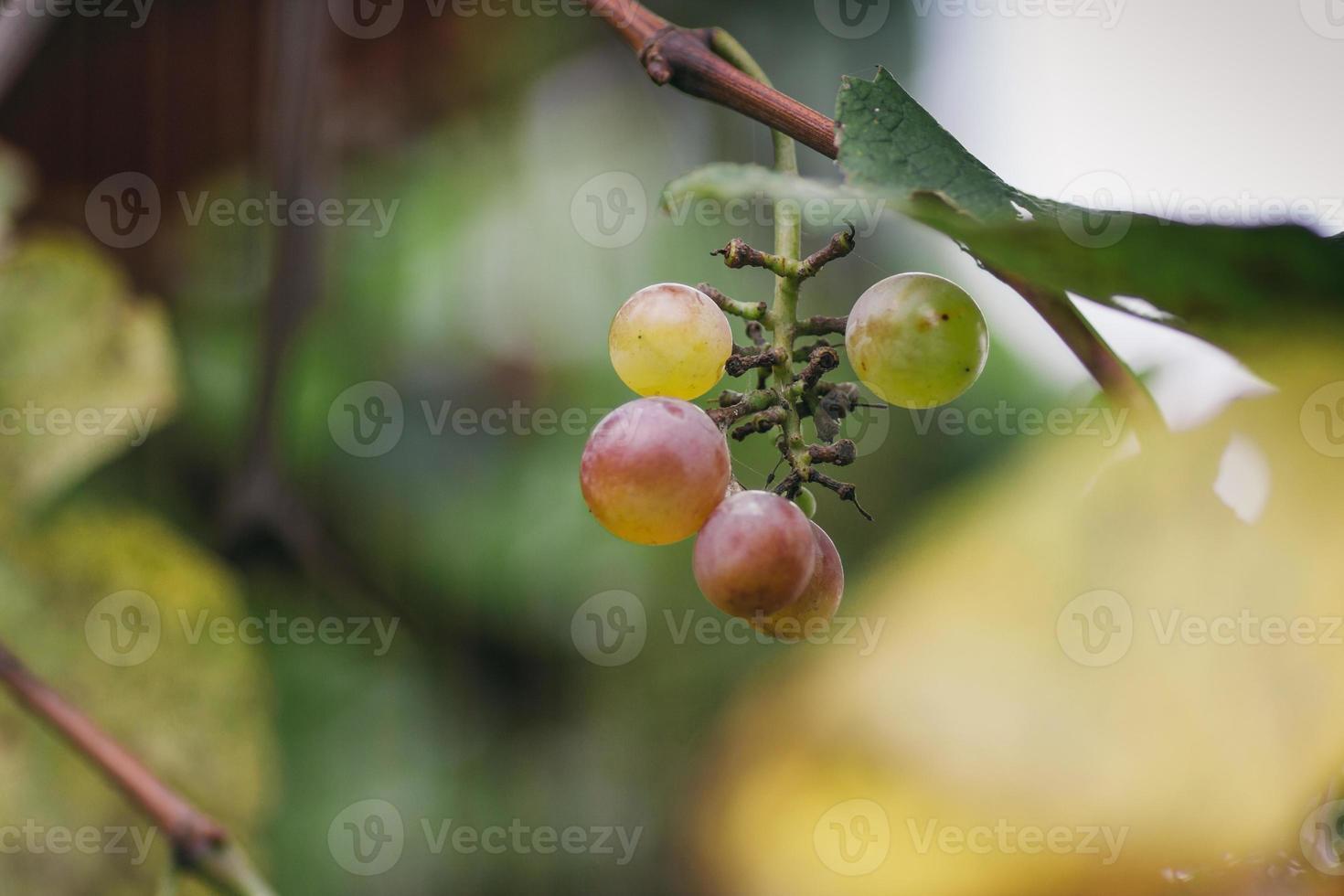raisin frais photo