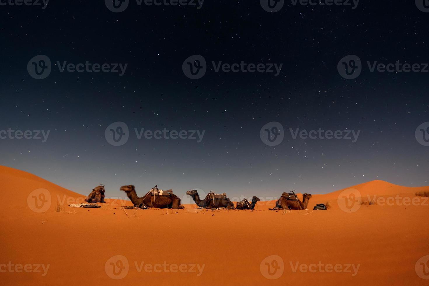 chameaux dans les dunes de merzouga photo