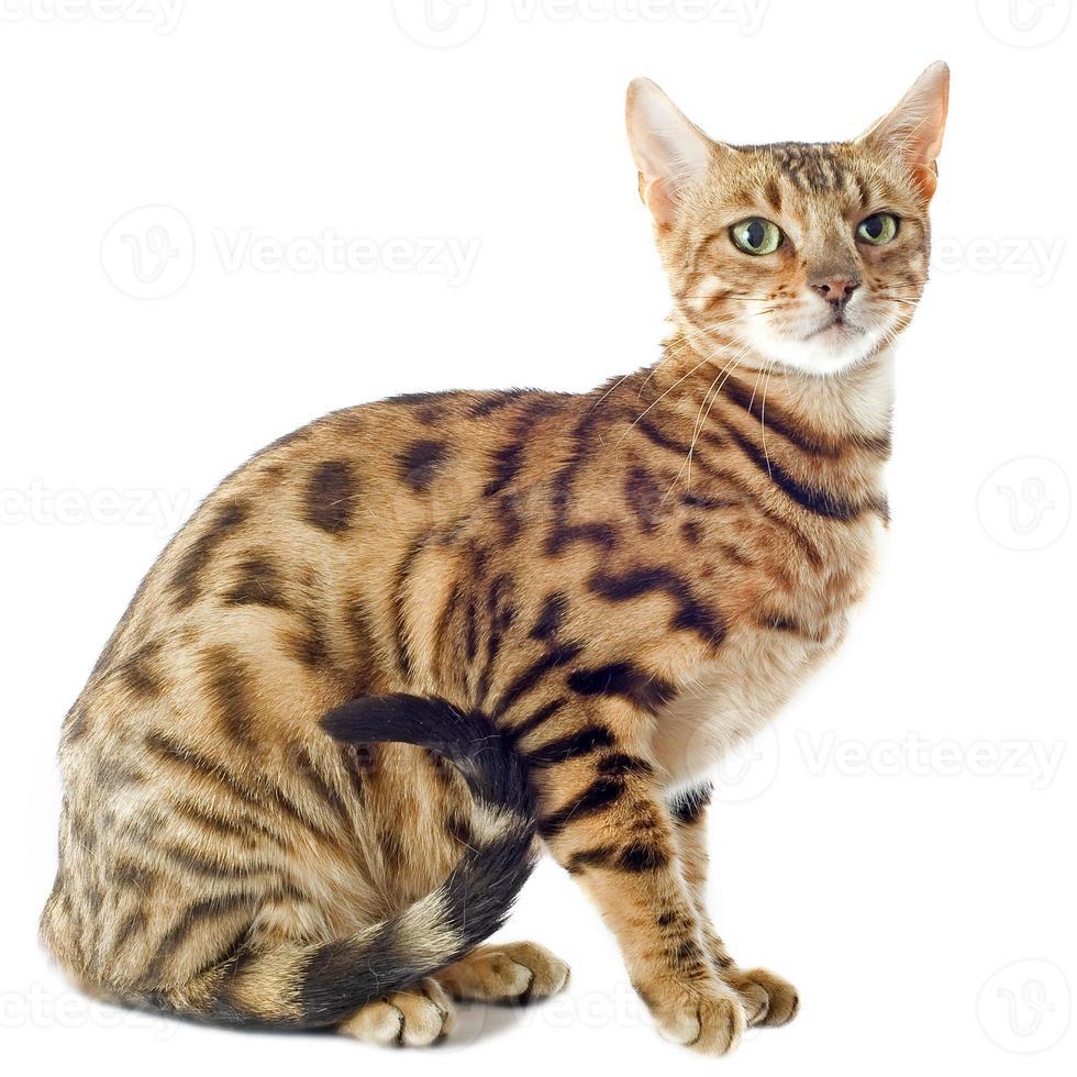 chat du Bengale photo