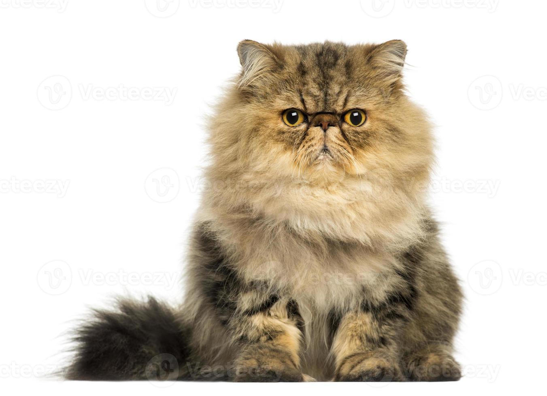 vue frontale, de, a, grincheux, chat persan, revêtement, regarder photo