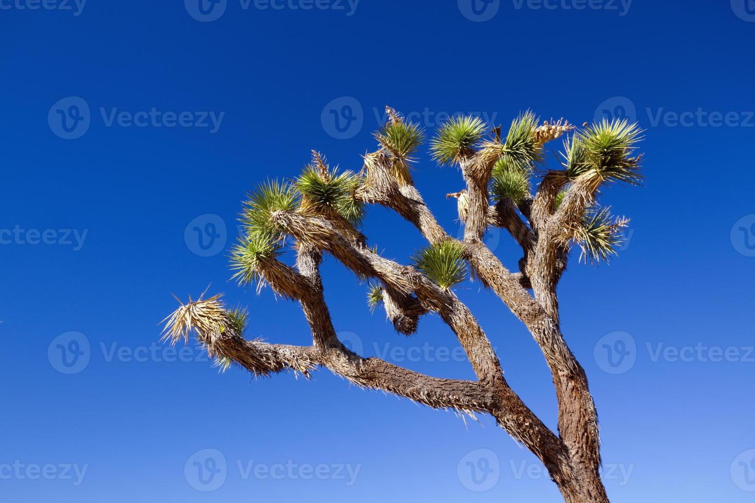 arbre de joshua photo
