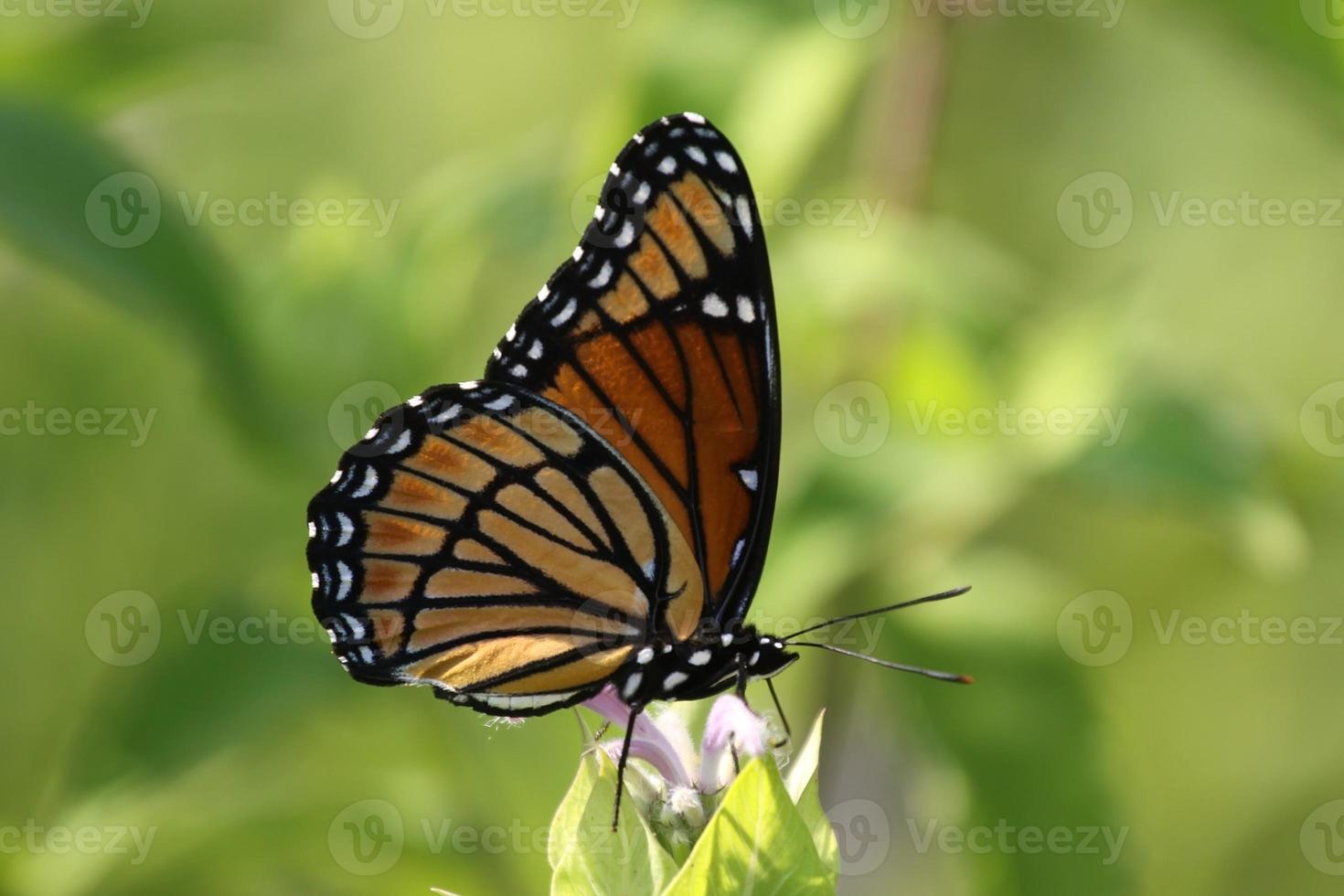 papillon vice-roi photo