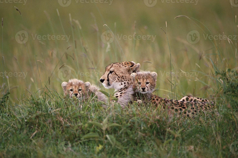lion et petits africains photo