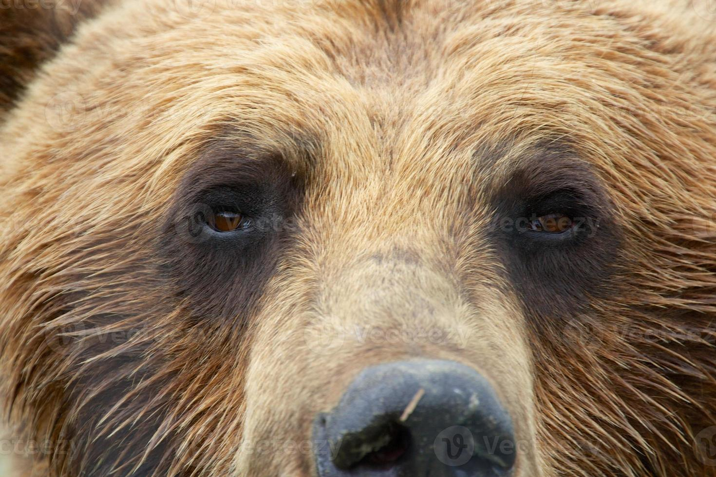 grizzly se bouchent photo