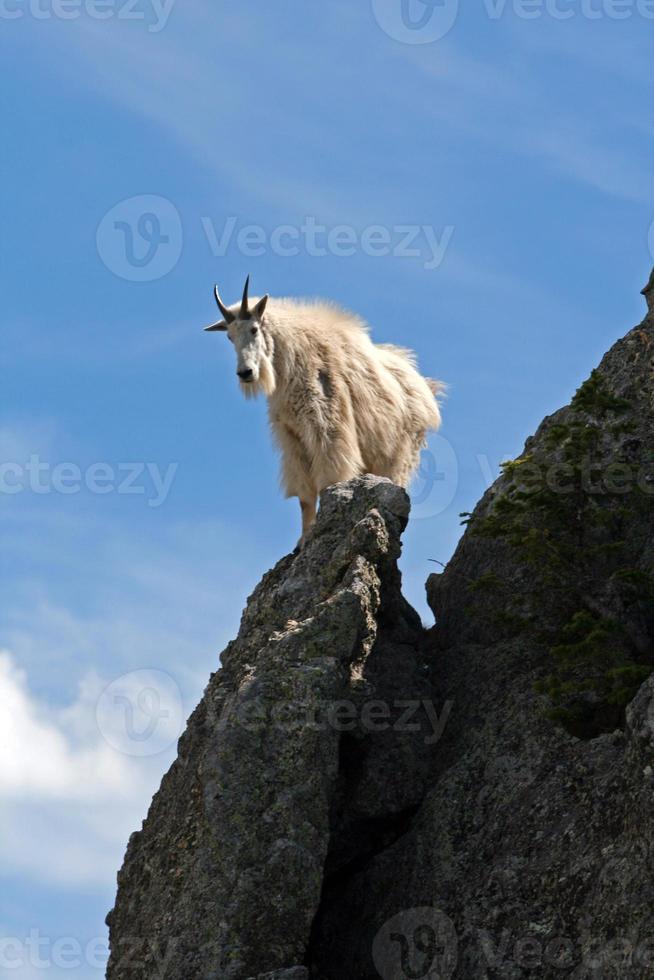 chèvre de montagne contemplant son parcours photo