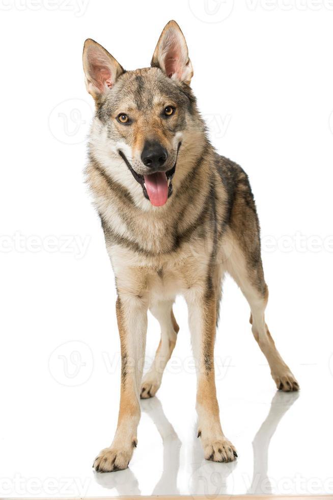 Loup chien photo