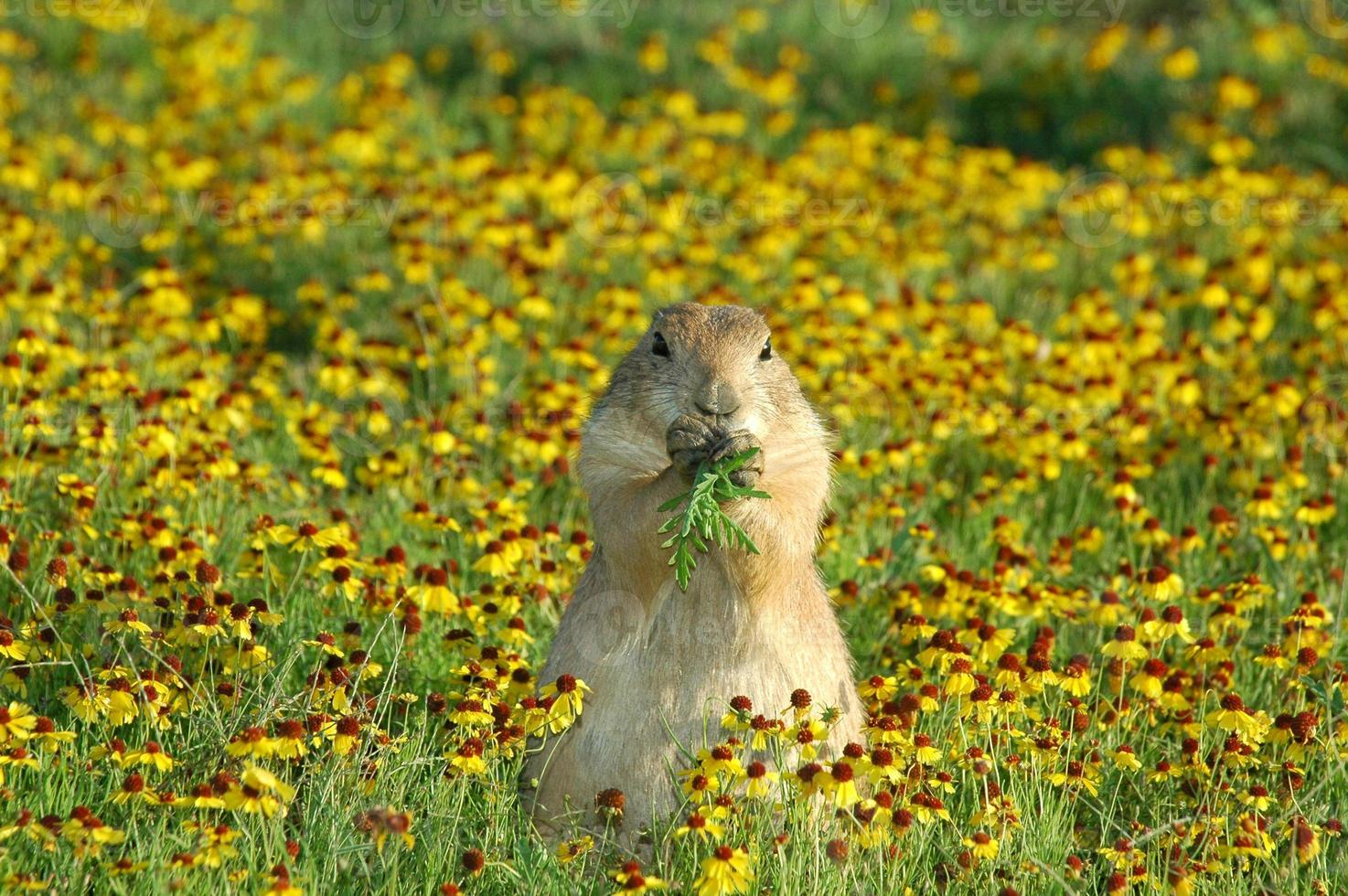 chien de prairie photo
