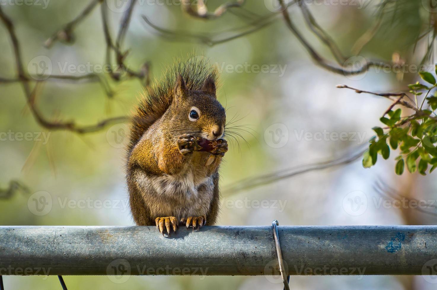 écureuil mangeant sur une clôture photo