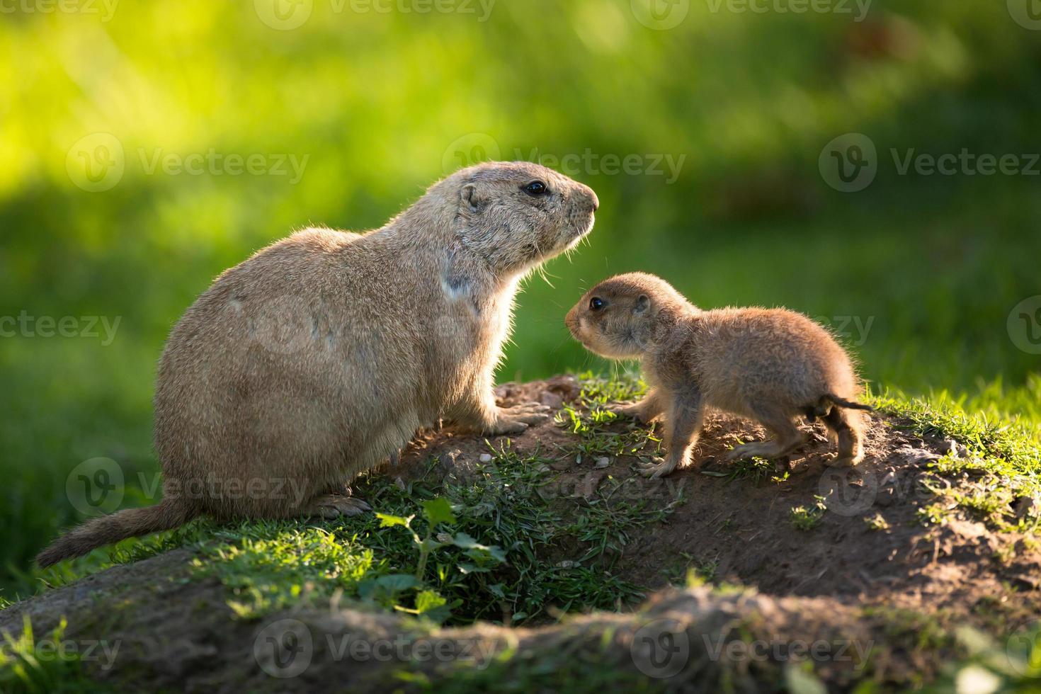 mignon chien de prairie à queue noire avec un jeune (cynomys ludovici photo
