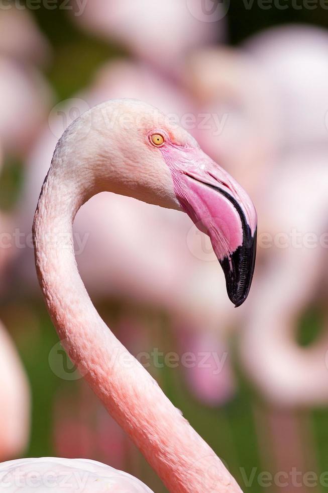 portrait de flamant rose photo