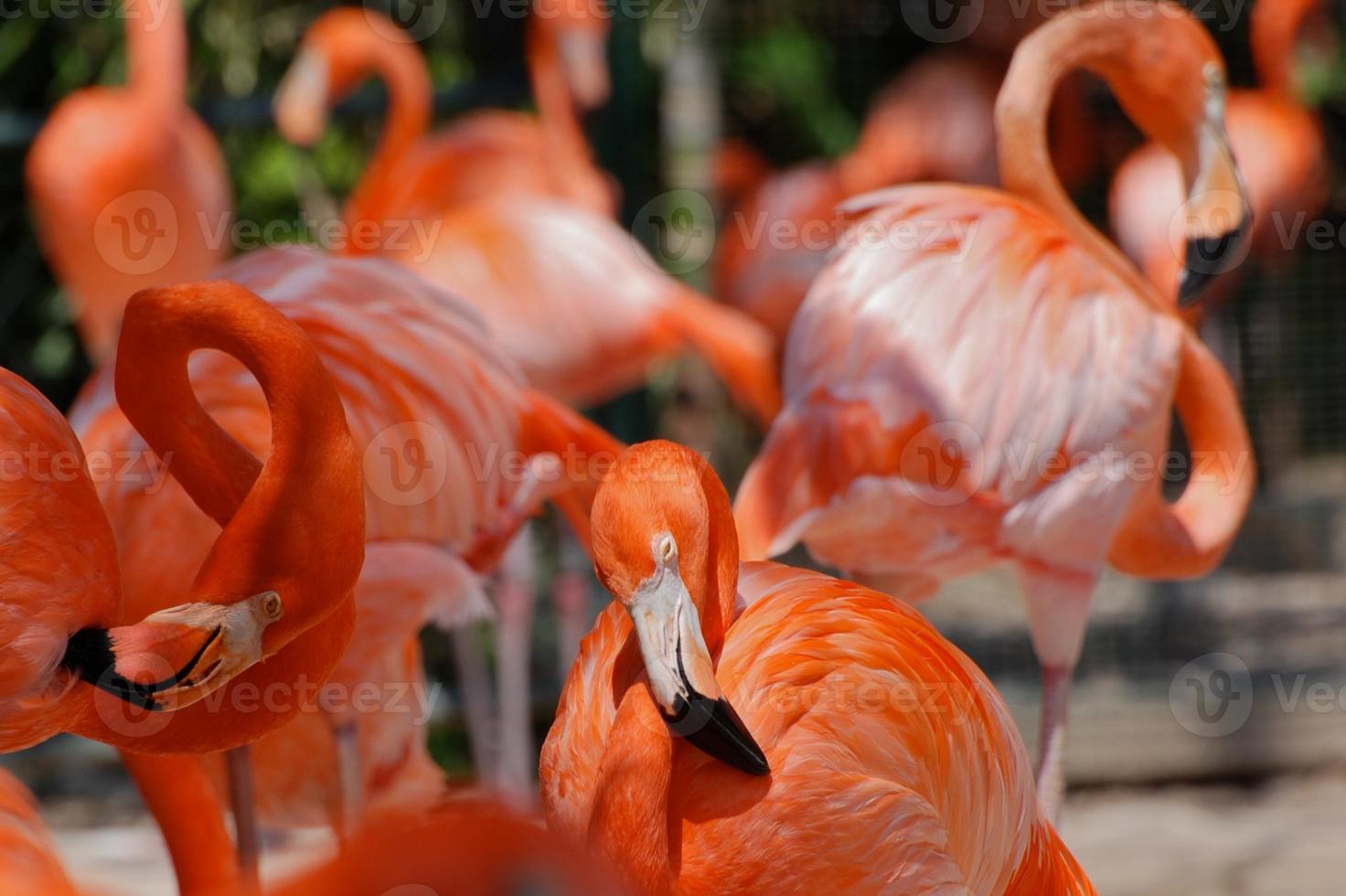 troupeau de flamants roses photo