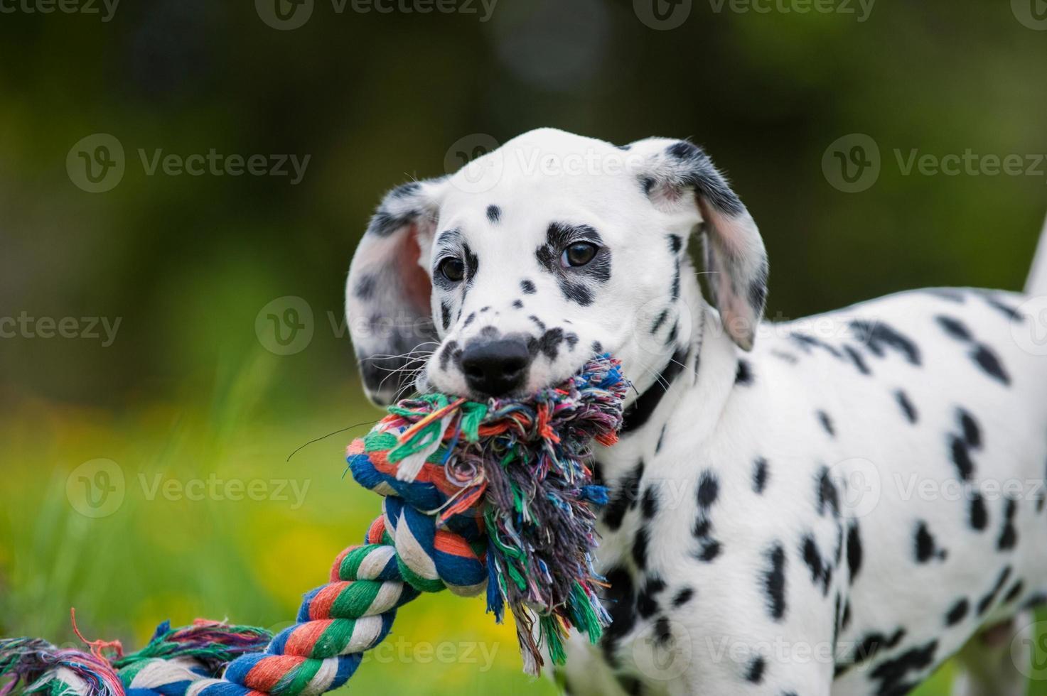 chiot dalmatien photo