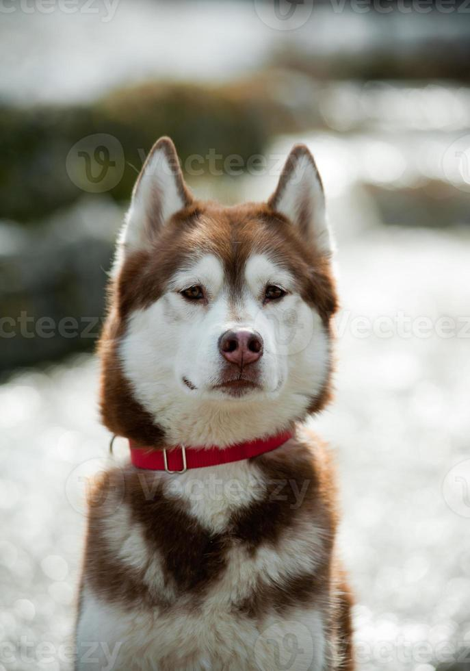 Husky sibérien photo