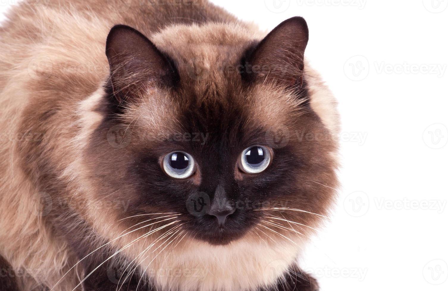 portrait d'un chat siamois photo