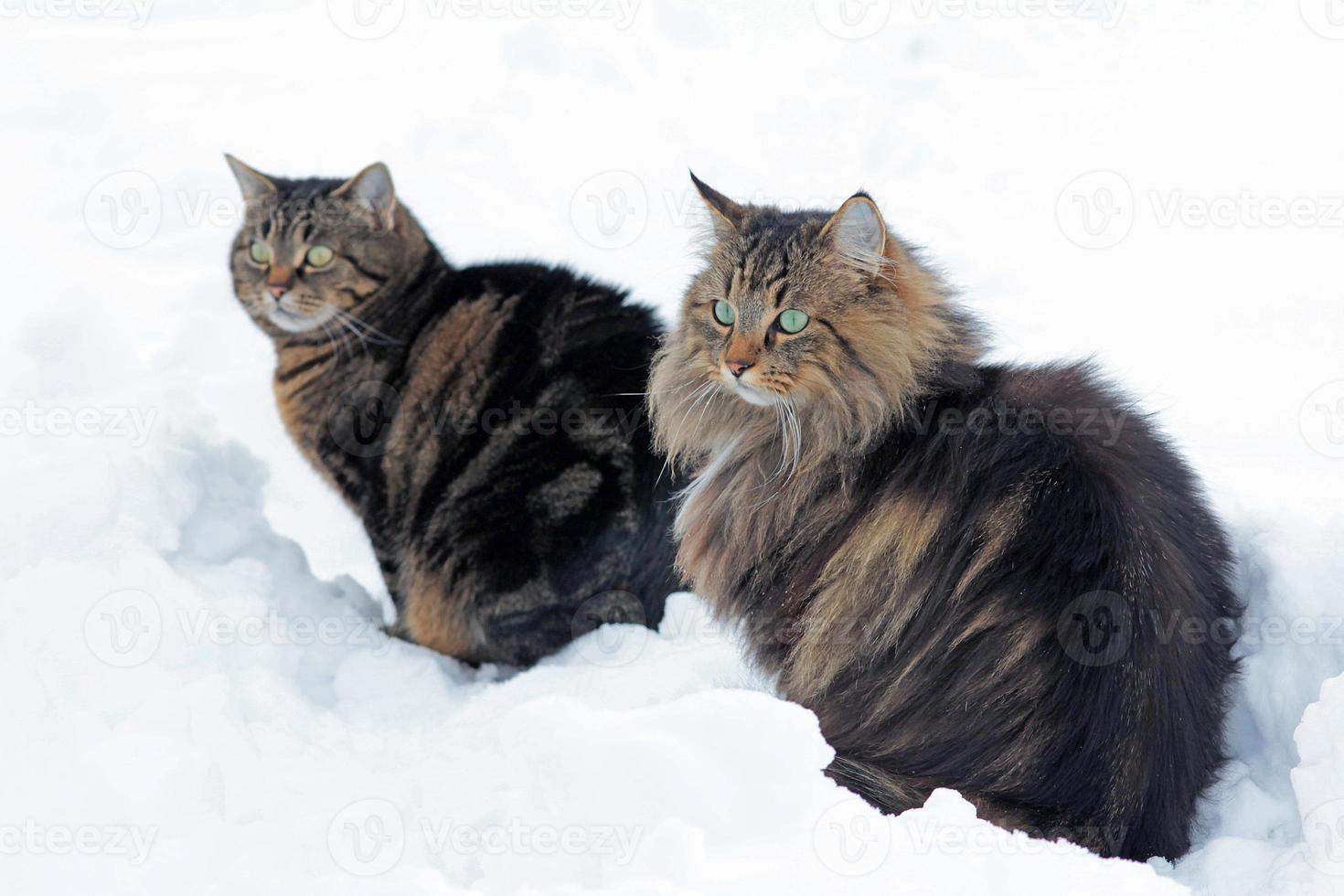 deux chats assis ensemble dans la neige photo