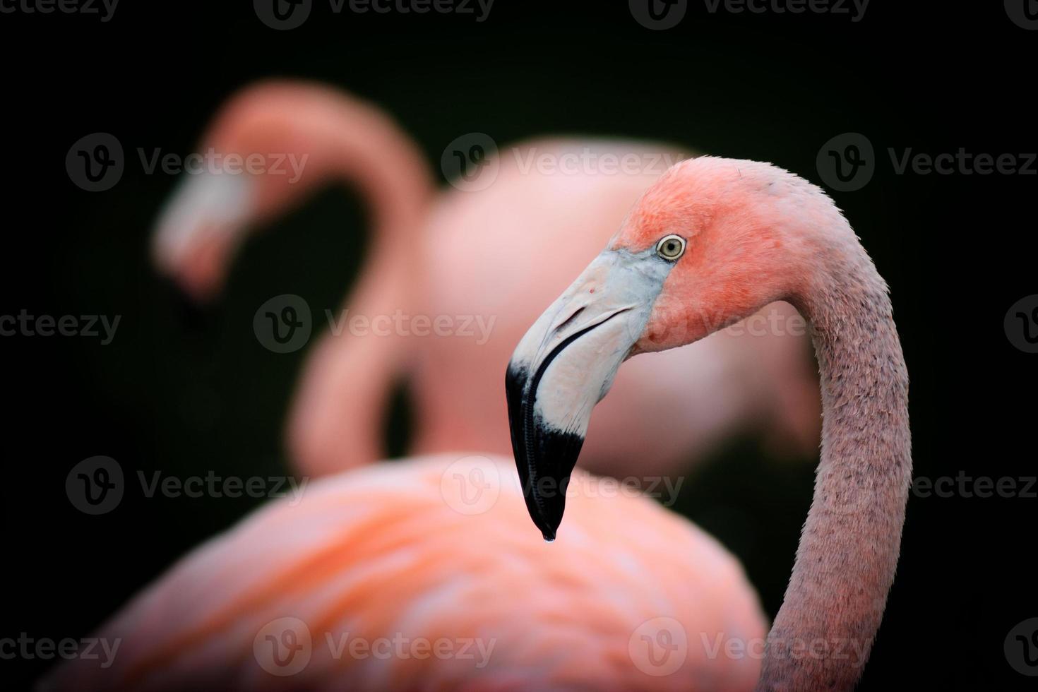 portrait de profil flamant rose photo