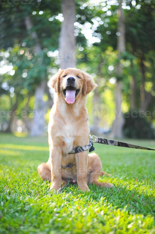 golden retriever heureux assis photo