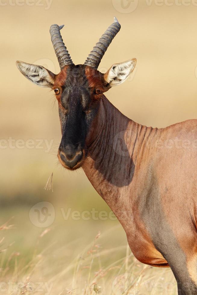 Topi à mâcher de la paille, Serengeti, Tanzanie photo