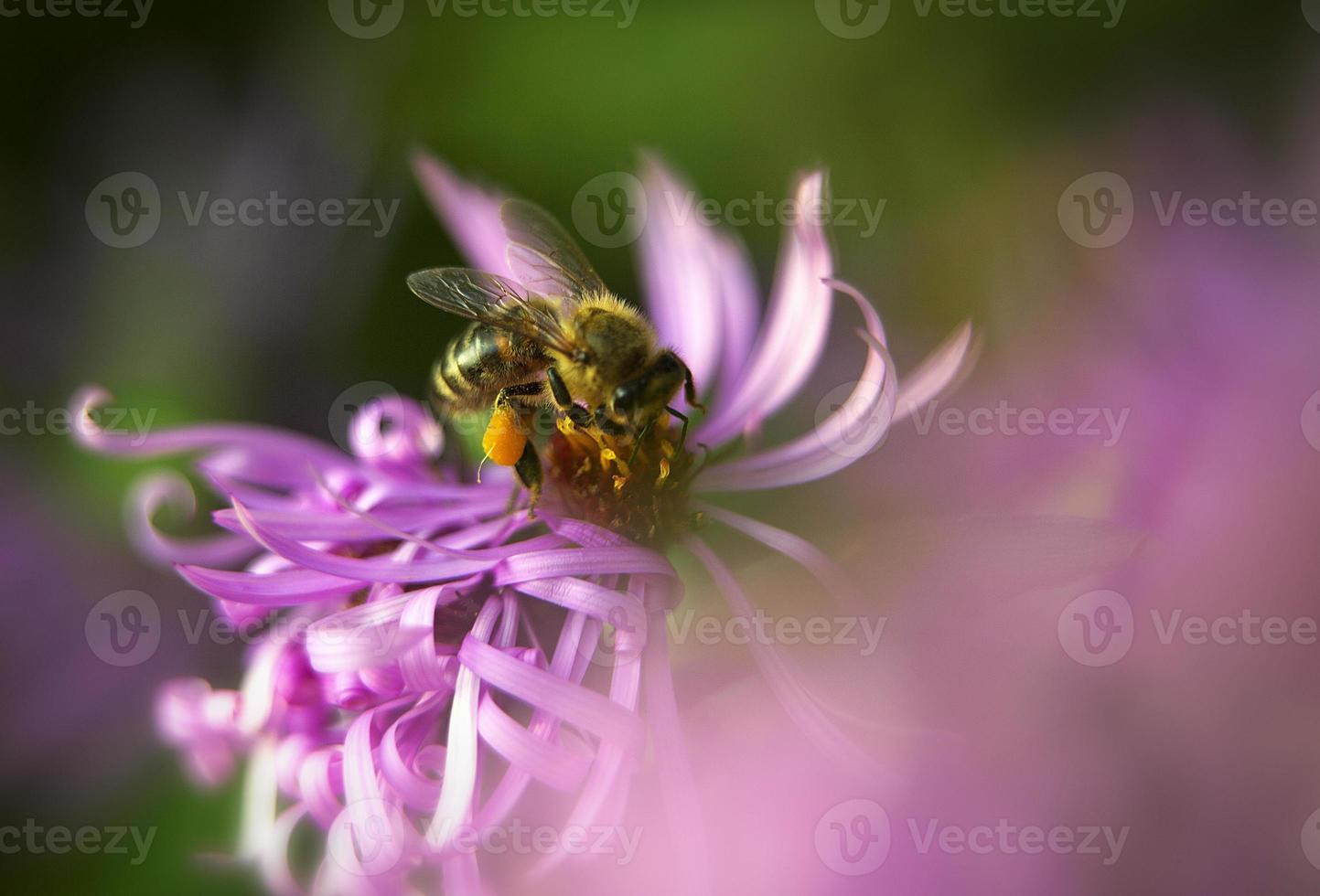abeille sur la fleur photo