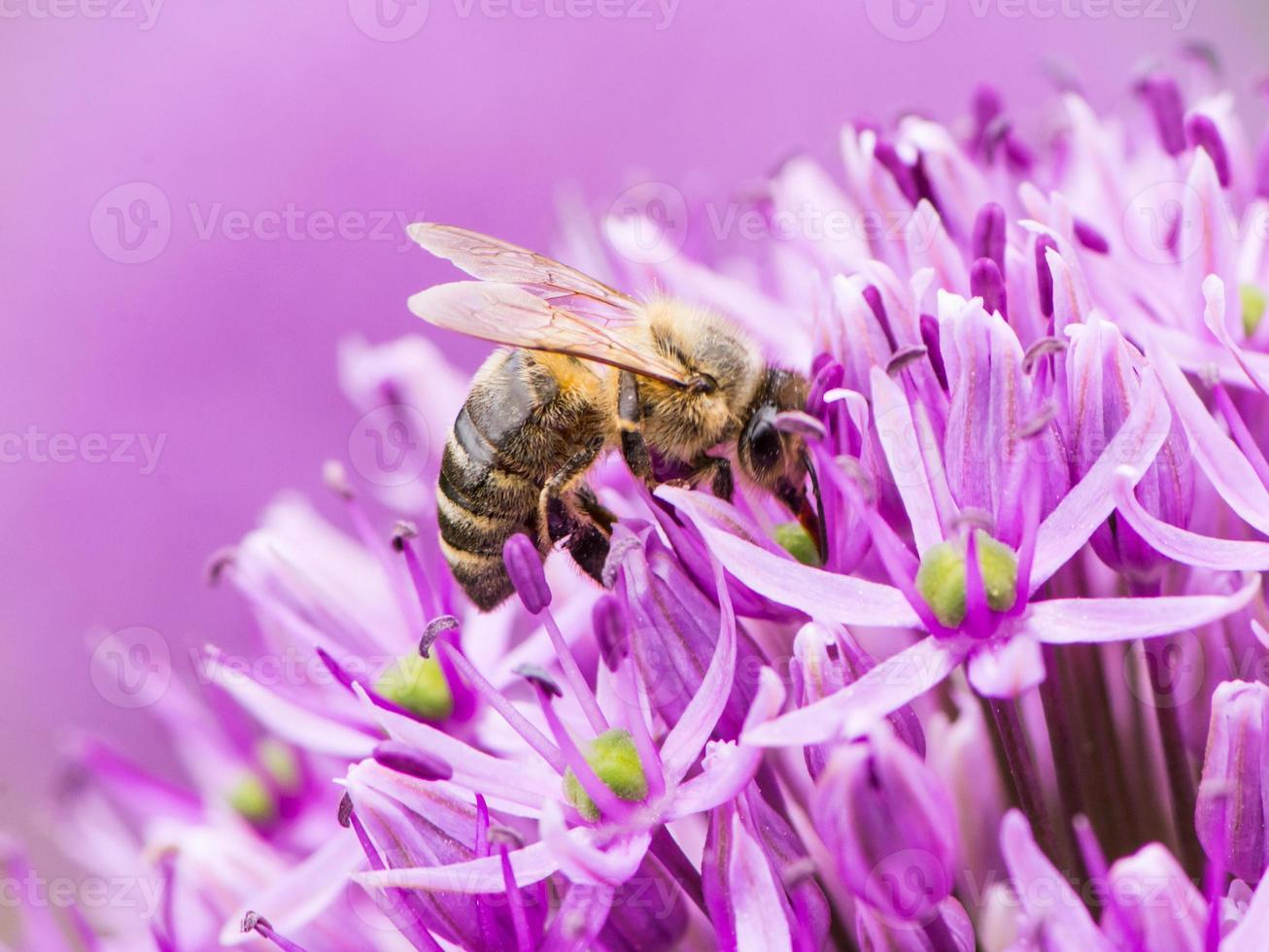abeille récoltant le pollen sur une fleur d'oignon géante photo