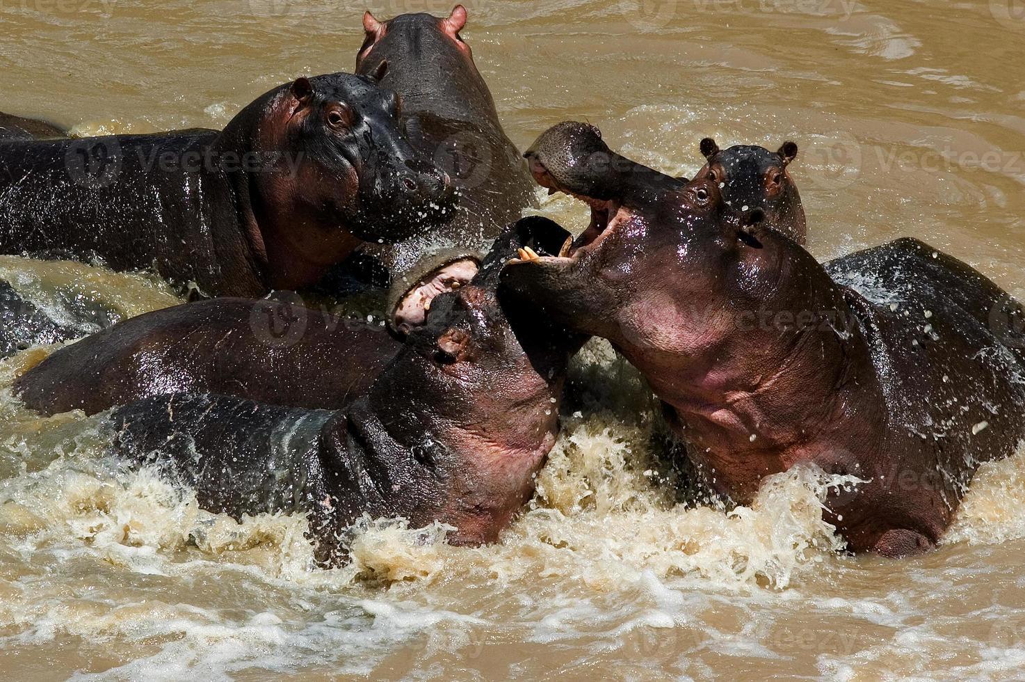 Hippopotames se battre à la rivière Talek, parc national de Masai Mara, Kenya photo