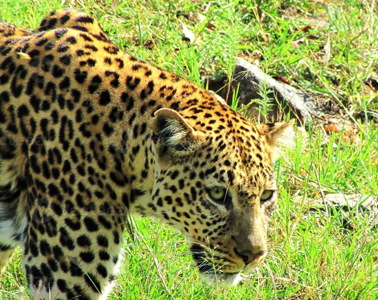 léopard, masai mara, kenia photo