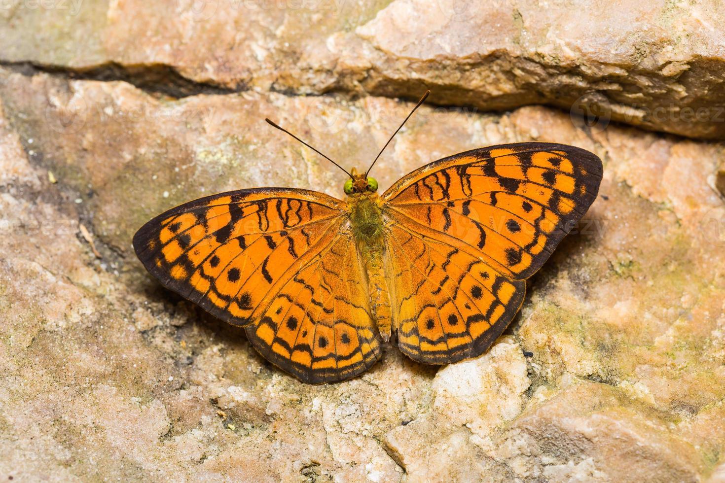 petit papillon léopard photo