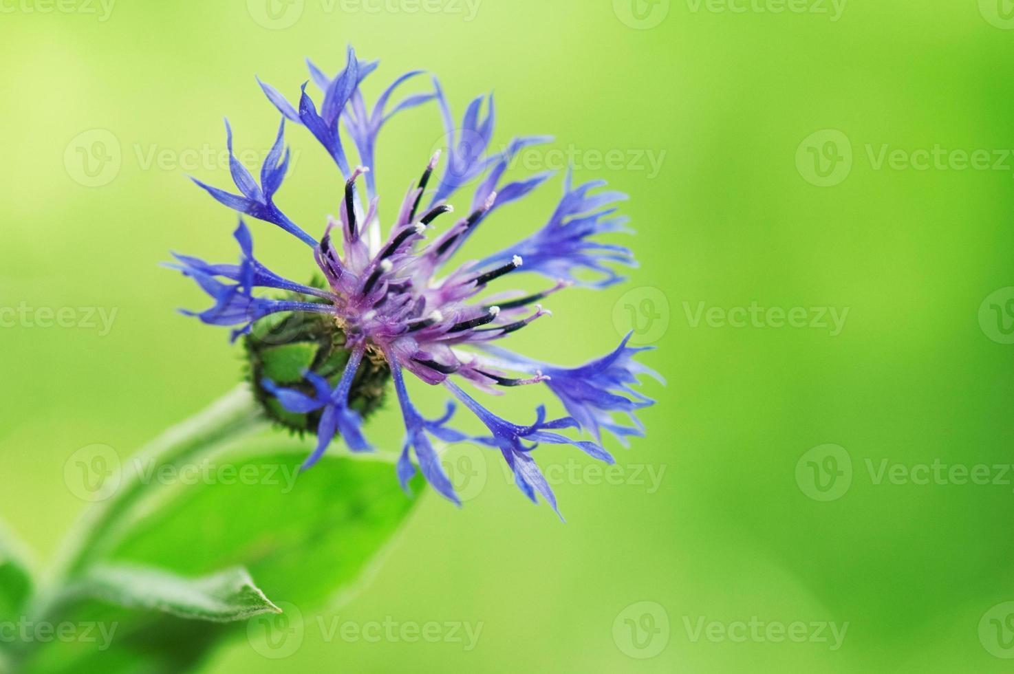 bleuet (centaurea cyanus) photo