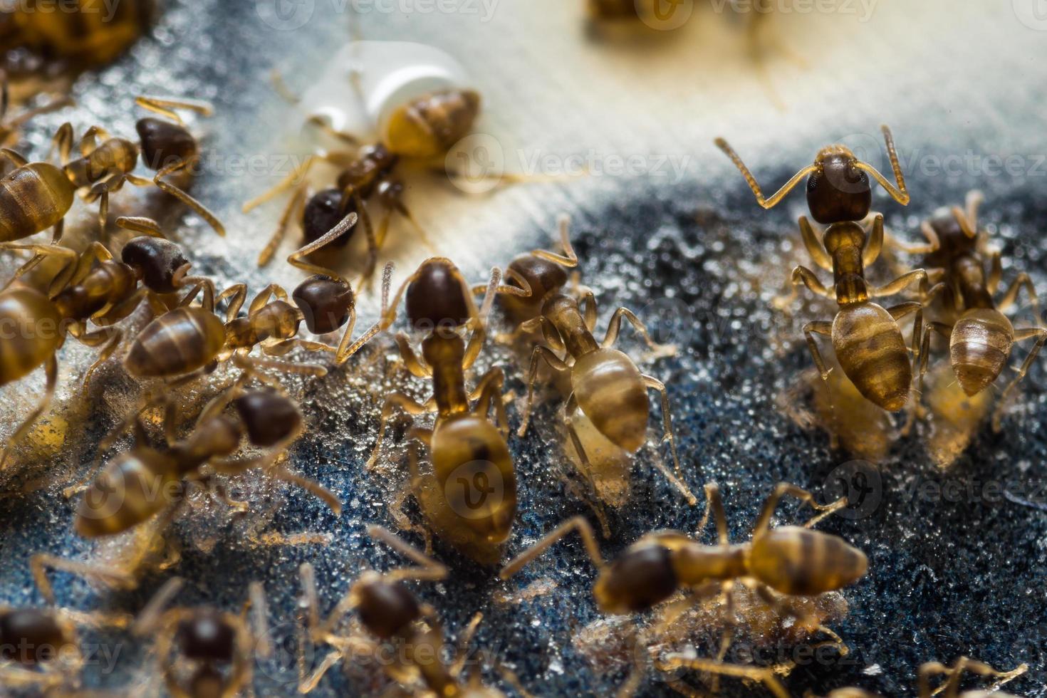 petites fourmis domestiques photo
