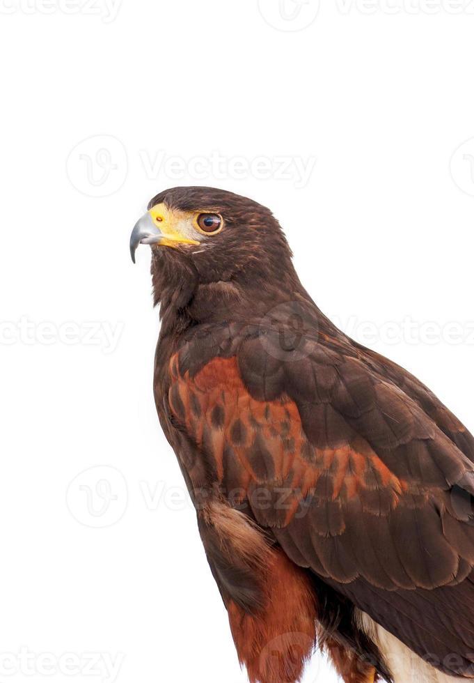 Portrait du faucon brun de Harris isolé sur fond blanc photo