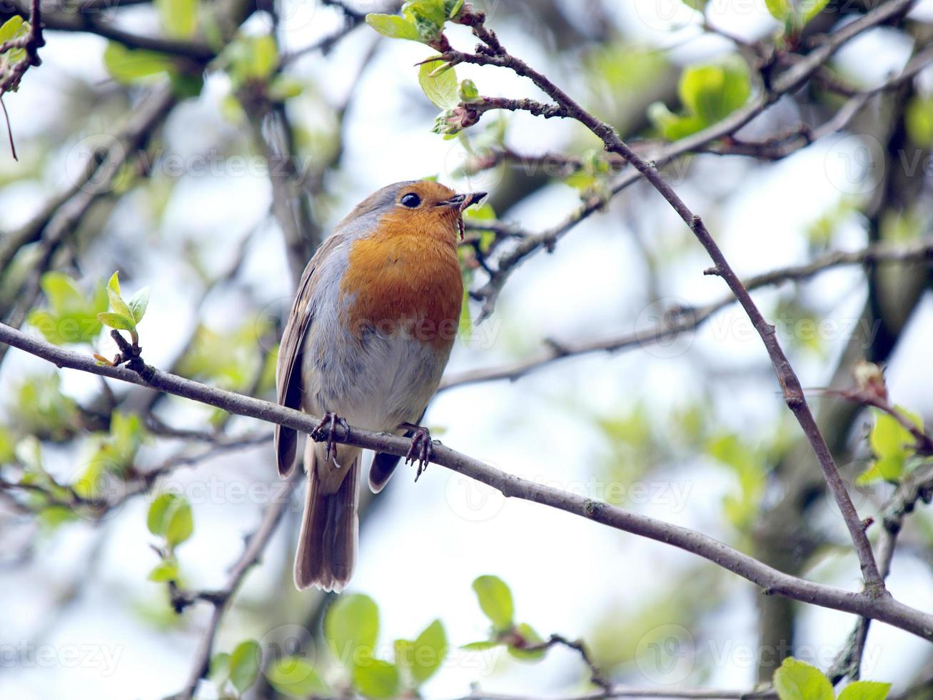 Robin photo
