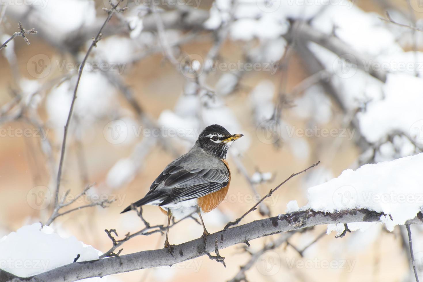 Robin américain debout sur une branche photo