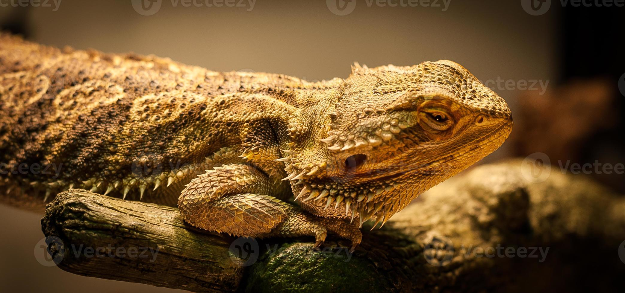 dragon barbu vous vérifie. photo