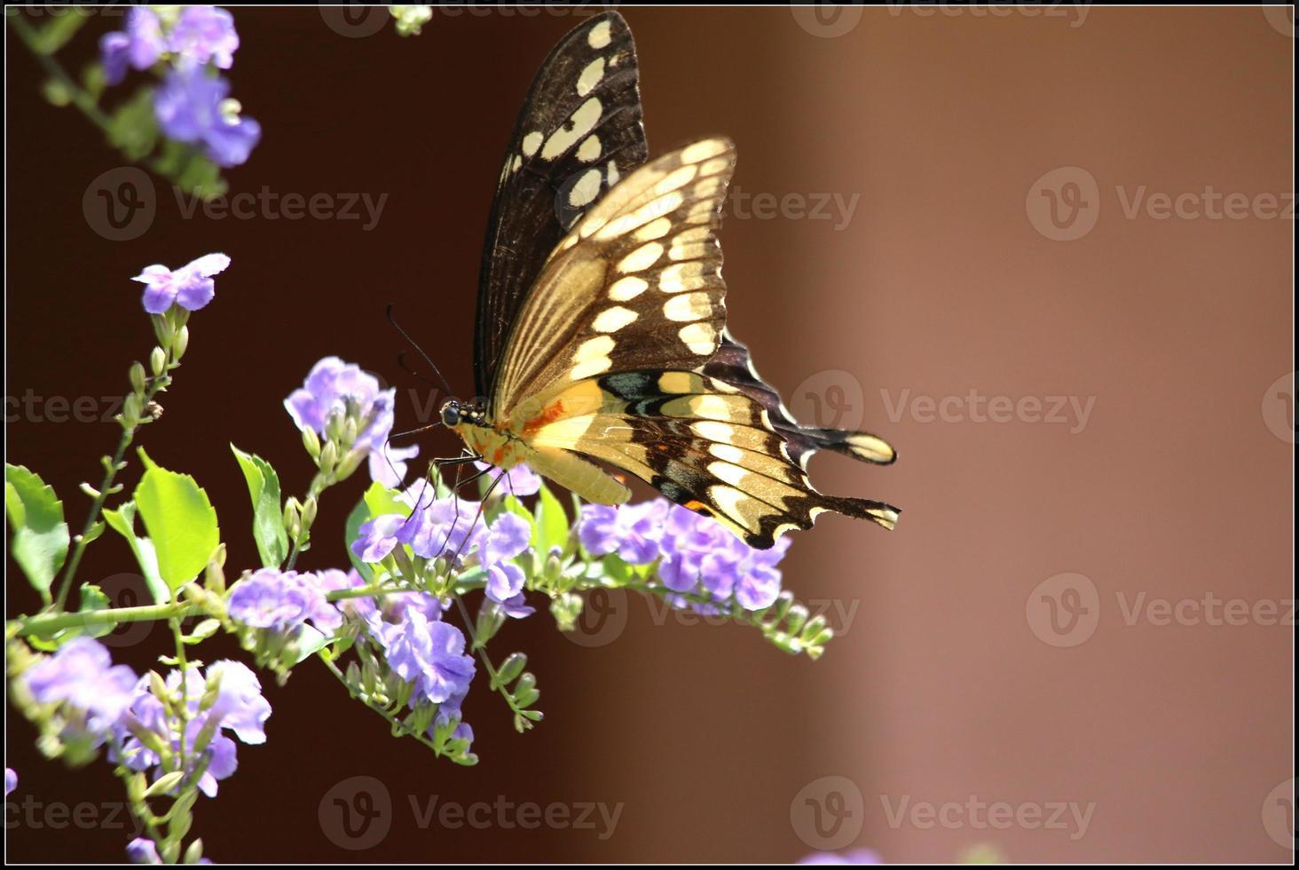 papillon machaon géant photo