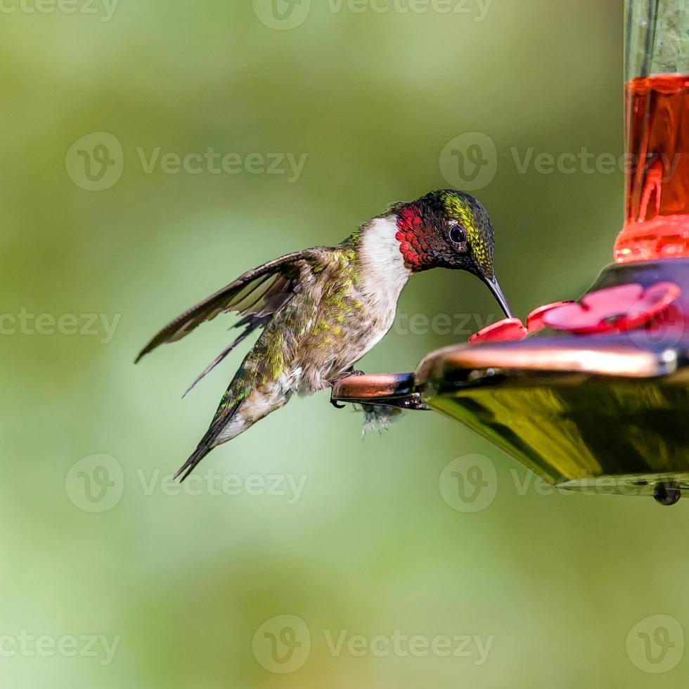 colibri à mangeoire rouge photo