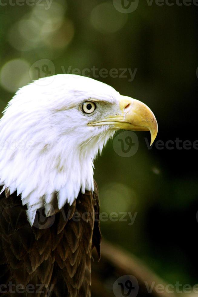 aigle chauve américain bouchent photo
