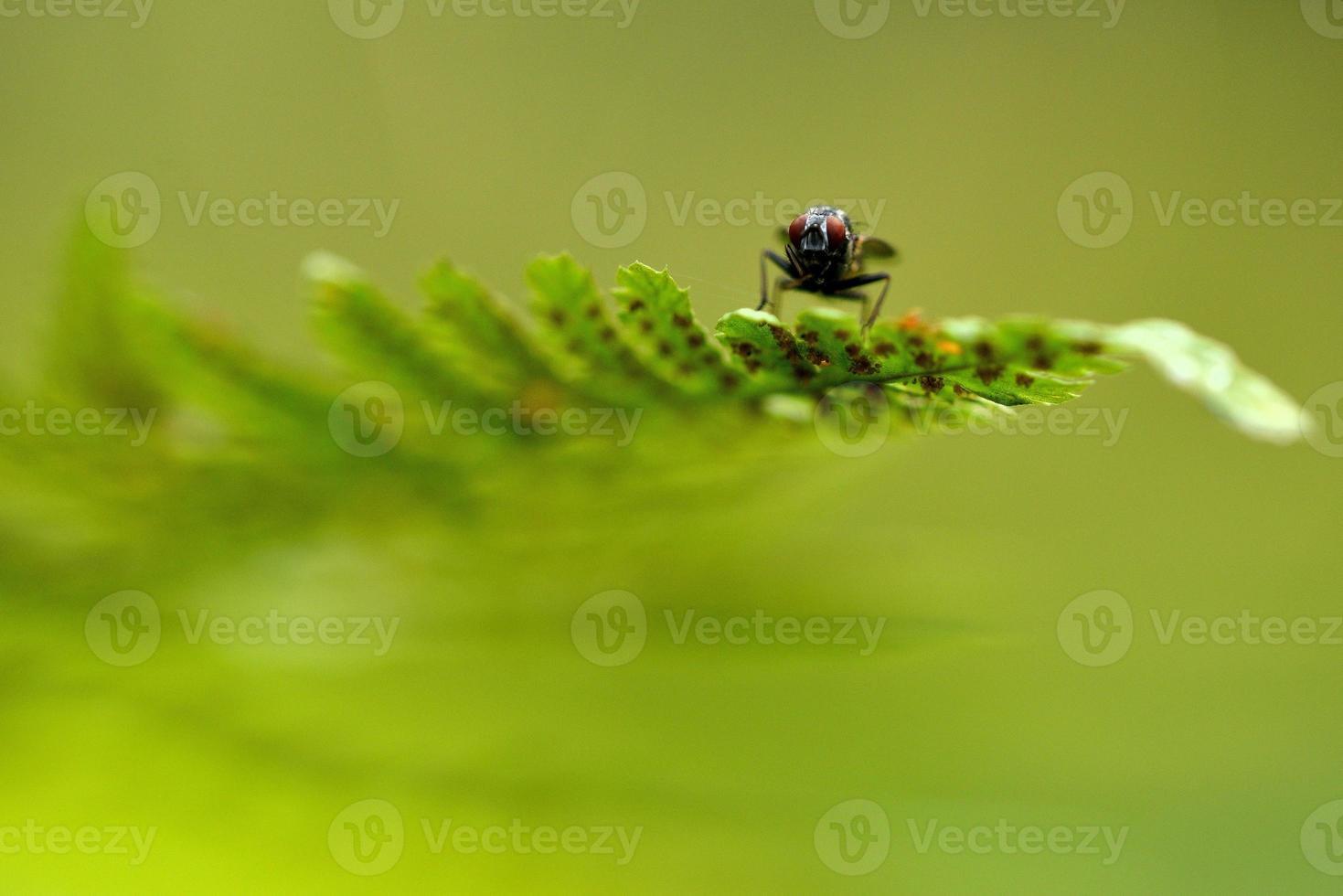 mouche domestique (lat.musca domestica) photo