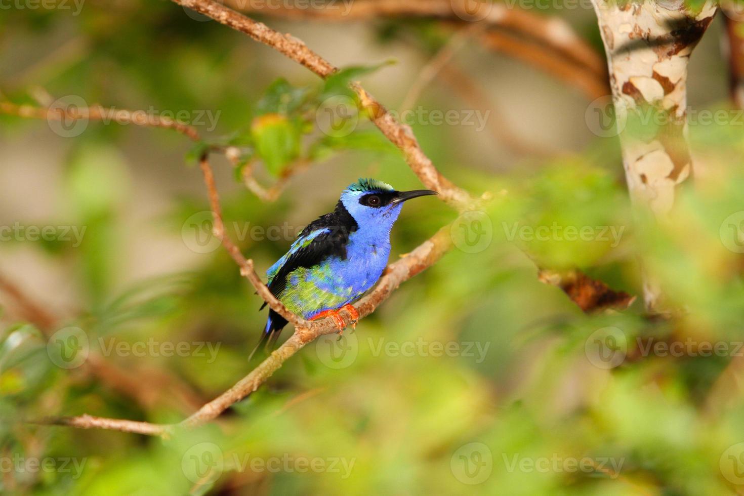 oiseau bleu sur une branche photo